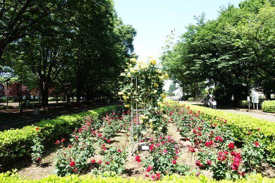 大蔵運動公園 バラ園