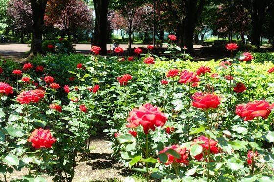 大蔵運動公園 薔薇