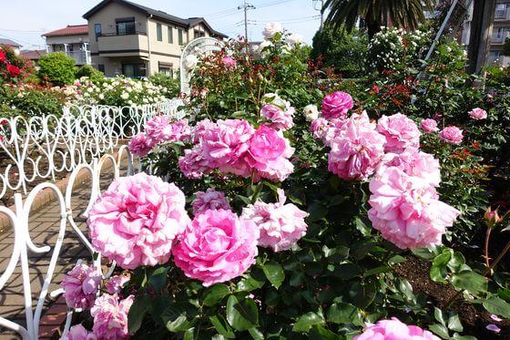 青和ばら公園 バラ 開花状況