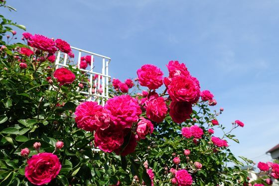 足立区 薔薇