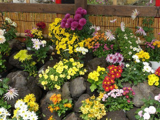 浅草寺 菊祭り