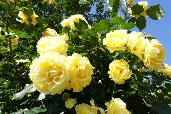 芝浦中央公園 バラ 開花状況