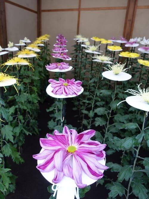 新宿御苑 管物菊花壇