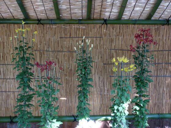新宿御苑 肥後菊花壇