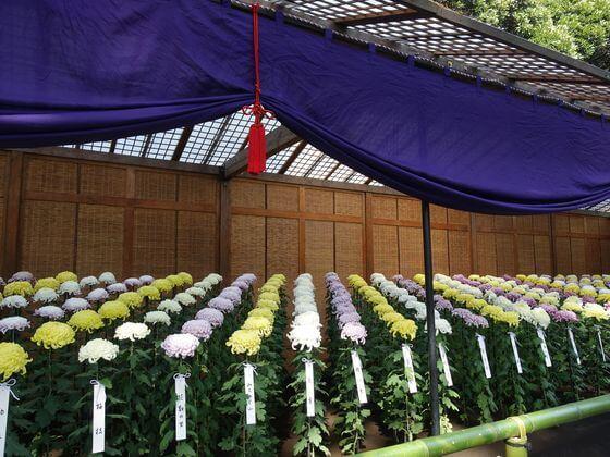新宿御苑 大菊花壇
