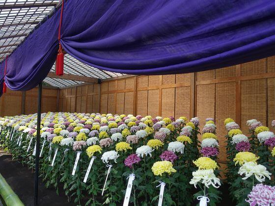 新宿御苑 菊