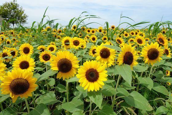 ソレイユの丘 ひまわり 開花状況