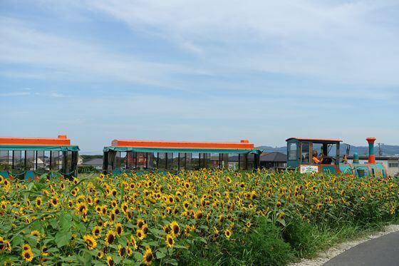 長井海の手公園 向日葵