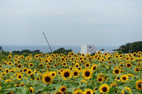 三浦市 向日葵