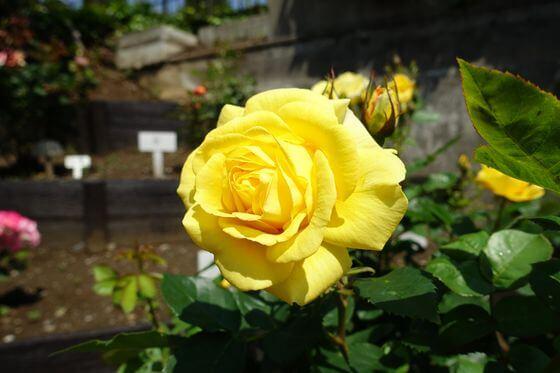 東陽町 薔薇