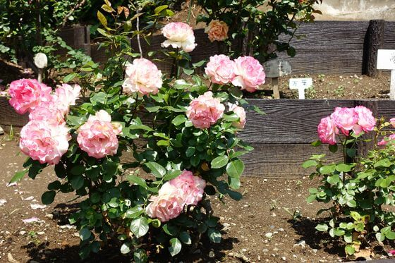 豊住公園 薔薇