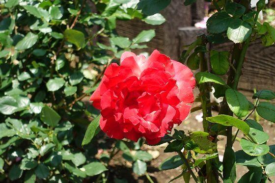 木場 薔薇