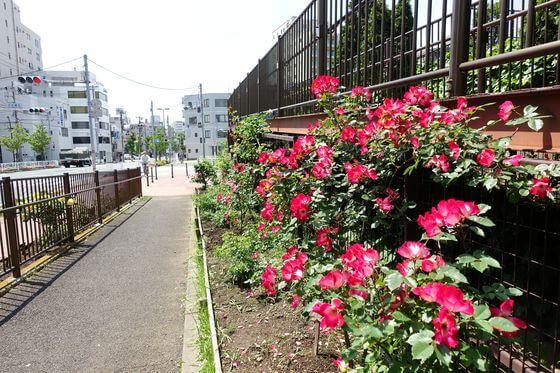 江東区 薔薇