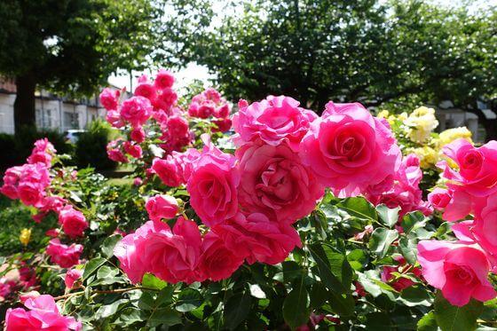 宇喜田東公園 薔薇