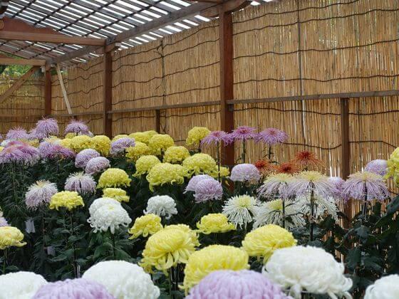 靖国神社 菊花展