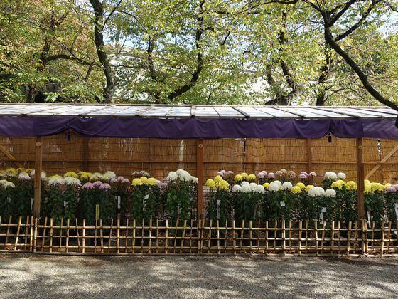 靖国神社 菊まつり