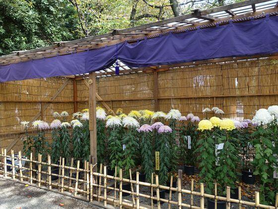 靖国神社 菊祭り