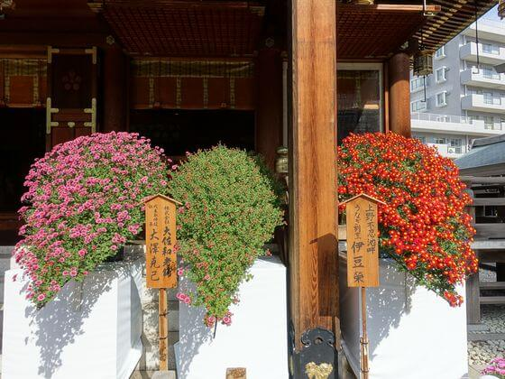 文京区 菊
