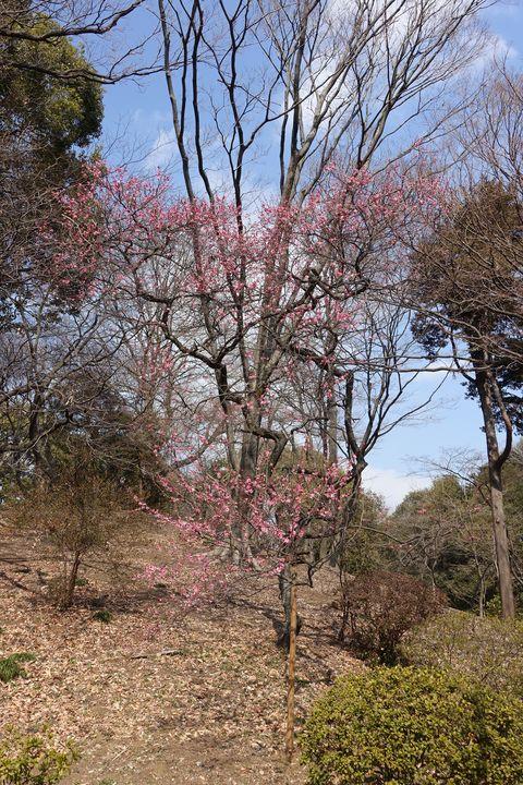 六義園 梅 開花状況