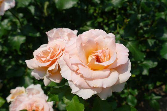 アメリカ山公園 バラ 開花状況