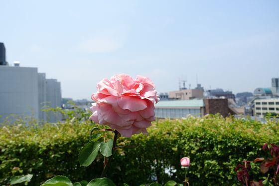 アメリカ山公園 薔薇