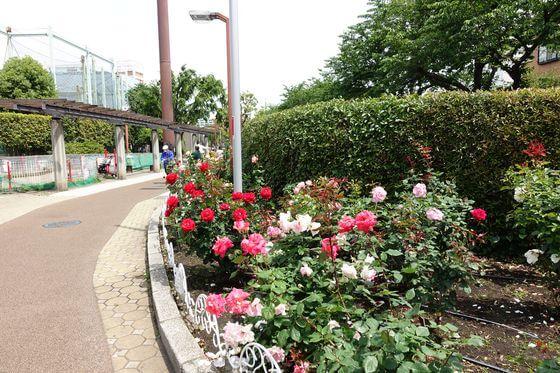荒川遊園地前 薔薇