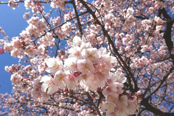 熱海御用邸 あたみ桜