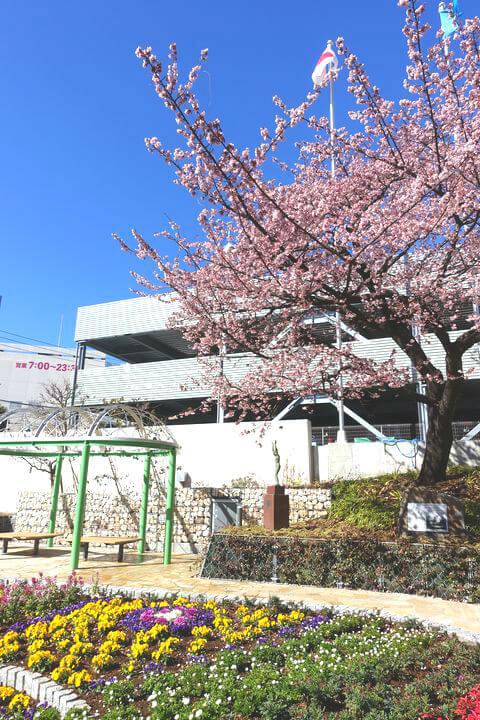 熱海市役所前 熱海桜