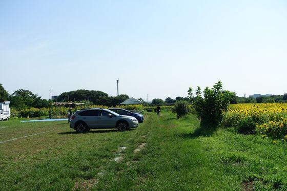 蓮田根金ひまわり畑