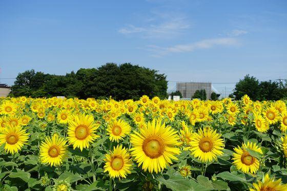 「蓮田ひまわり畑」の画像検索結果