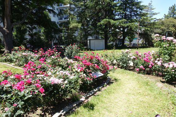 八幡山の洋館 薔薇