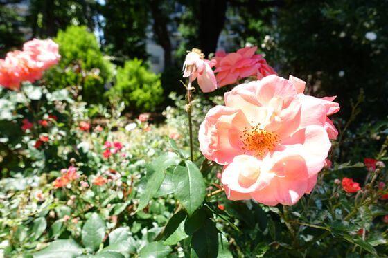 平塚 八幡山の洋館 バラ