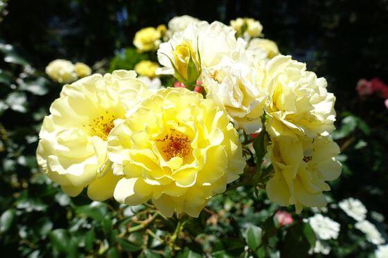 八幡山の洋館 バラ 開花状況