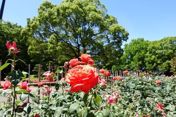 平塚市総合公園 薔薇