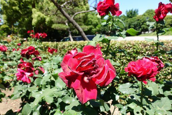 総合公園 バラ