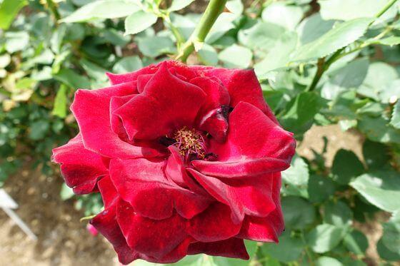 黒真珠 バラ