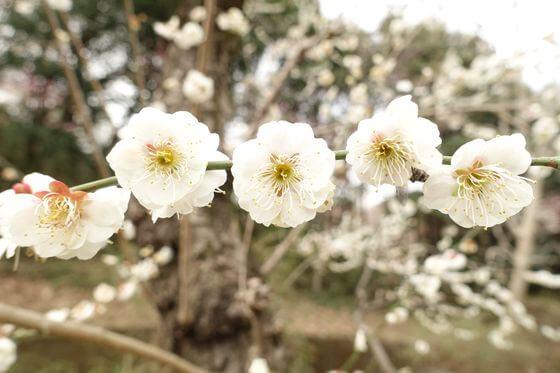 生田緑地 梅 開花状況