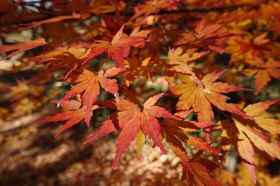 神代植物公園 紅葉 現在