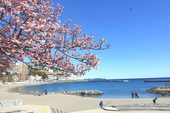 釜鳴屋平七 あたみ桜