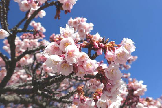 釜鳴屋平七夫婦像 あたみ桜 開花状況