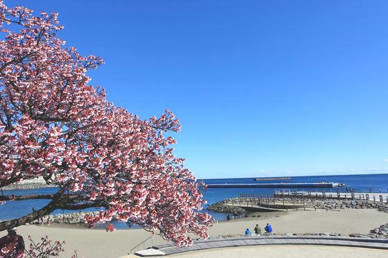 釜鳴屋平七 熱海桜