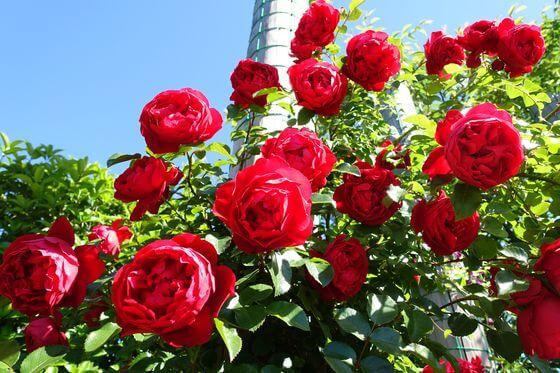 花菜ガーデン バラ 見頃