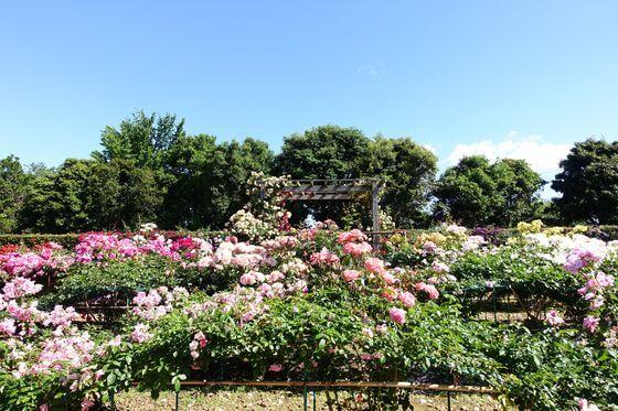 花と緑のふれあいセンター 薔薇