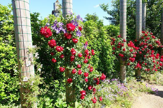 花菜ガーデン 薔薇