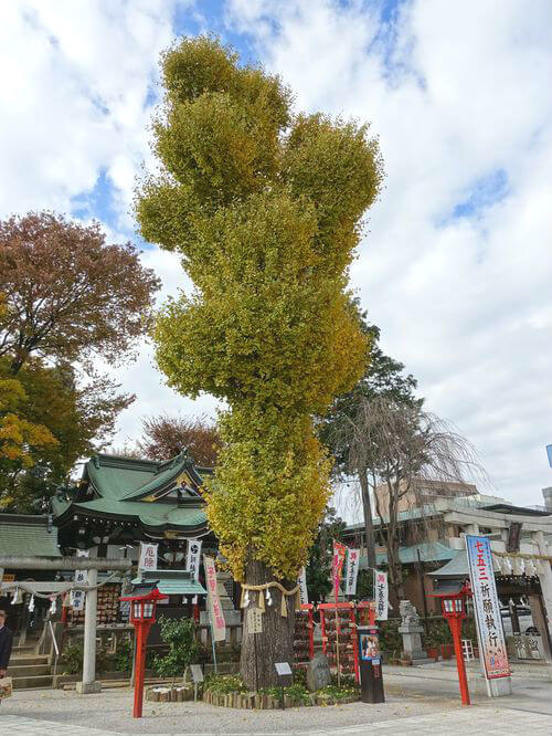 川越八幡宮 銀杏