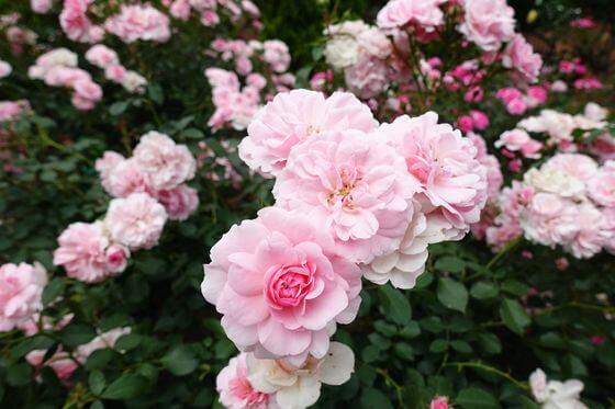 京王フローラルガーデン 薔薇 開花状況