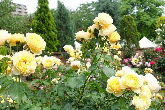 多摩川 薔薇