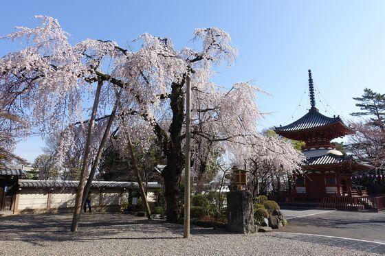喜多院 枝垂れ桜
