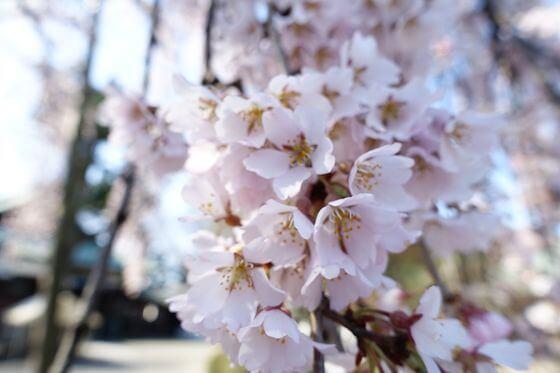 喜多院 桜 開花状況