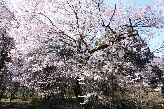 喜多院 桜 見頃